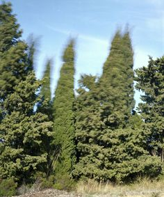 trees in the wind
