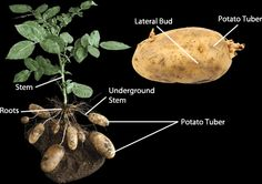 Asexual reproduction in potato plants.