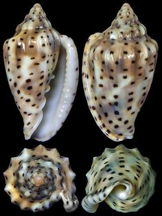 Glabella pseudofaba (Sowerby II, 1846)  -  C.Chen