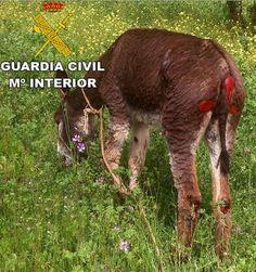 Detenido un hombre en Castilla-La Mancha por maltratar a un asno tras arrastrarle con un camión - 45600mgzn