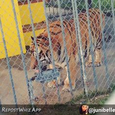 This recent video of me from @junibelle Thanks for visiting. If you visit me please take pics  and  and tag me here on InstaGRRRRRam. RARS on #TigerTuesday! #tiger #tigers #tigertruckstop #captivetigers #Louisiana #tonythetruckstoptiger #freetonytiger