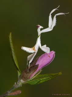Night Eyes - At daytime, the eyes of the Mantis Orchid (Hymenopus coronatus) are…