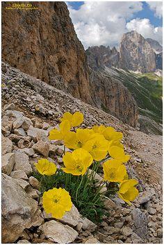 Papaver alpinum rhaeticum Dolomiti