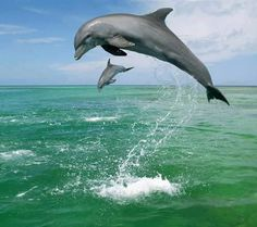 Bottlenose Dolphin Wallpaper Dolphins Animals Wallpapers) – Wallpapers For Desktop Animals Amazing, Animals Beautiful, Water Animals, Baby Animals, Cutest Animals, Wild Animals, Baby Dolphins, Bottlenose Dolphin, Delphine