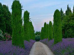 """Lavender in Provence.  ¡Que lugar!! Trabajaría alli, encantado de la vida, haciendo maravillas con """"lavanda"""""""