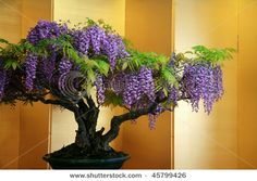 Two of my favorites in one, Wisteria and Bonsai