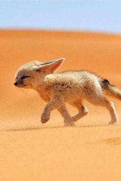 "Fennec the Soul of the Desert. Photography by @ (Francisco Mingorance). ""The fennec, or desert fox is a canine mammal species of the genus Vulpes, which inhabits the Sahara Desert and Arabia. Cute Little Animals, Cute Funny Animals, Nature Animals, Animals And Pets, Desert Animals, Wild Animals, Friendly Fox, Tier Fotos, Cute Creatures"