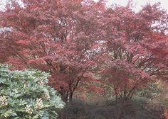 Mature Bloodgood Japanese Maple- Burgundy foliage with excellent red fall color.  Attractive winter branching.