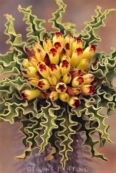 ravenwhimsy:  Pachypodium namaquanum must rate as the most sought-after and loveable of all large succulents from the arid Northern Cape and southern Namibia, …(further info at the link- http://www.plantzafrica.com/plantnop/pachynam.htm)