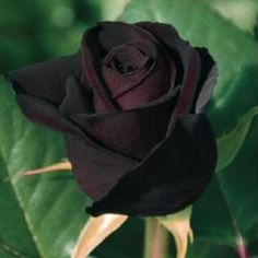 Black Baccara -rose