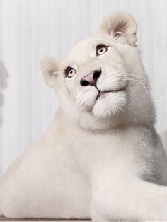 White lioness photo - 13.5 months old  © Jean-Pierre Collin - wildlife photographer