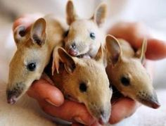 Image result for Baby bandicoots