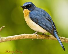 TICKELL'S BLUE-FLYCATCHER (Cyornis tickelliae) - a small passerine bird in the flycatcher family. This is an insectivorous species which breeds in tropical southern Asia from India and Sri Lanka to Indonesia. They are blue on the upperparts and the throat and breast are rufous. They are about 11–12 cm long.They feed mainly by capturing insects in flight but their prey include other insects such as termites and earwigs that may be picked from the forest floor.