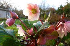 Helleborus 'Pink Frost'  Part shade