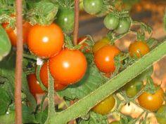 Sungold Tomato, my favorite tomato, so reliable! Sungold Tomato, Tomato Season, Herb Gardening, Around The Corner, Beautiful Wall, Homemaking, Garden Inspiration, The Great Outdoors, Barn