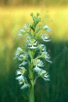 Western Prairie Fringed Orchid | ... PRAIRIE_RESERVE;WESTERN_PRAIRIE_FRINGED_ORCHID;WILDFLOWERS;VTLLONE