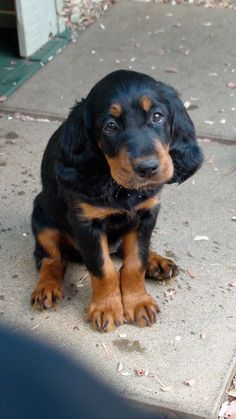 Gordon Setter. Reminds me of my boy as a pup!
