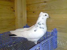 Iranian High Flyer Pigeon