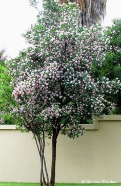 Dais cotinifolia (Pompon Tree) high, 3 m wide To grow as tree, train one main truck by removing side growth