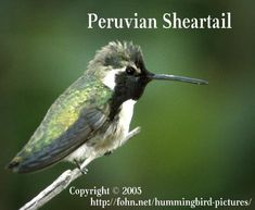 Hummingbird Pictures Guide: Peruvian Sheartail Hummingbird