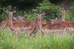 Attentive.... Kruger National Park, South Africa.