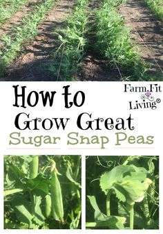 Garden Landscaping If you're looking for the best ways to grow great sugar snap peas in your home garden, you're in the right place. Read here for tips and tricks for growing peas that are crisp, nutritious and delicious. Gardening For Beginners, Gardening Tips, Flower Gardening, Gardening Supplies, Gardening Shoes, Home Vegetable Garden, Home And Garden, Box Garden, Garden Tools