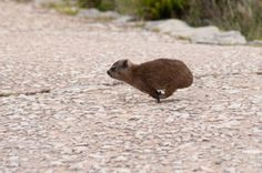 Snapshots of Table Mountain: This is the Dassie - a small mammal found on the mountain that is a descendant of the elephant! Cape Town Tourism, Table Mountain Cape Town, Brown Bear, Mammals, Places To See, South Africa, Elephant, Creatures, City
