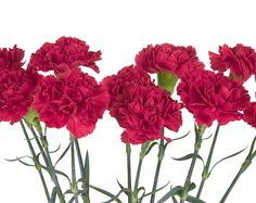 January's Birth Month Flower is the Carnation