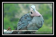 Somebody obviously said something funny - The Laughing Dove Getting To Know You, Laughing, Wildlife, Articles, African, Bird, Funny, Animals, Animais