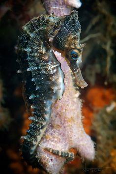Seahorse by nicolas.terry