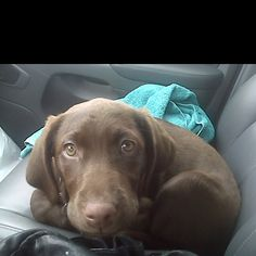 Sookie, our puppy chocolate lab.  Now she's 80 lbs.
