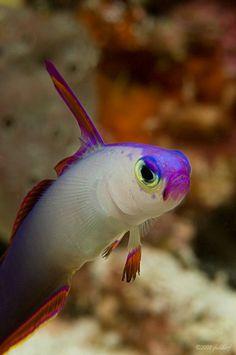 Decorated Dartfish