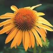 Botanical name: Echinacea 'Harvest Moon'    Other names: Coneflower 'Harvest Moon'