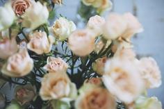 pink roses  by Olivia Rae James