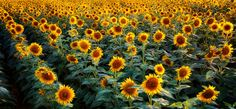 Sunflowers signal the arrival of summer