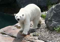 polar bear by Diane