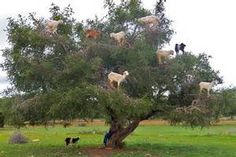 goats in trees - - Yahoo Image Search Results