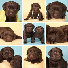 Chocolate lab puppies posing for the camera