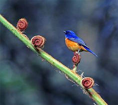 黃腹琉璃.攝於台灣 南投縣 溪頭 Rufous-bellied Blue Flycatcher, taken at Shitou, Nantou County, TAIWAN  這張圖似乎意味著凡事都要一步一步來,不管前面有多少坎坷,只要一步一步地踏穩腳步,再艱難的階梯都能跨過。  The Flycatcher did not seem to be deterred by the rocky road ahead. One step at a time, he was determined to get to his destination.