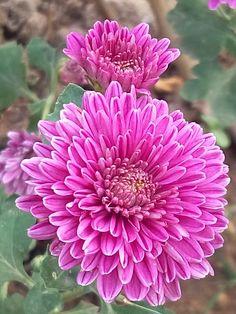 camomile purple