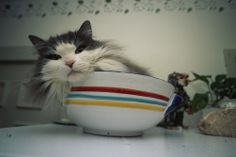 A Maine Coon cat rests in a bowl on top of a refrigerator. By Bill Curtsinger/National Geographic Creative