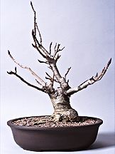 bonsai magnolia - Google Search - chicagobotanic.org