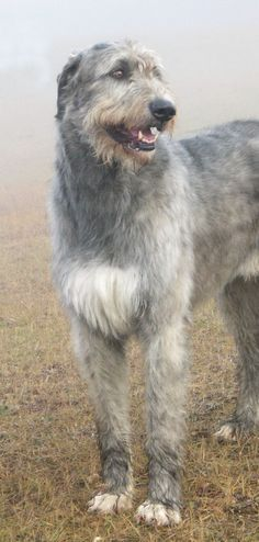 "Photo I took in the fog of my Irish Wolfhound ""Ch.Loneoak Grady At Mistyglen"" aka ""Grady"". Currently #2 Irish Wolfhound In Canada 2009!!!!!!!"