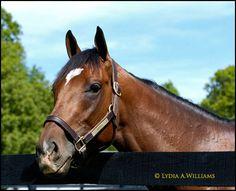 Barbaro at Fair Hill - Photo by Lydia A. Williams