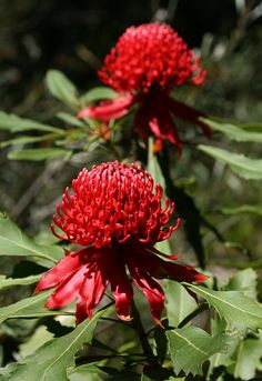 It is is a hardy and vigorous hybrid waratah providing lots of spectacular flowers in spring. Great for use in low maintenance gardens or pots. Australian Native Flowers, Australian Plants, Australian Bush, Protea Flower, Waratah Flower, Exotic Flowers, Beautiful Flowers, Love Garden, Botanical Drawings