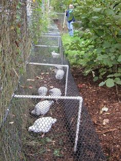 Chicken Coop - Love this chicken runner idea! Building a chicken coop does not have to be tricky nor does it have to set you back a ton of scratch. Easy Chicken Coop, Chicken Pen, Chicken Coup, Backyard Chicken Coops, Chicken Coop Plans, Building A Chicken Coop, Chickens Backyard, Chicken Run Ideas Diy, Plants For Chickens