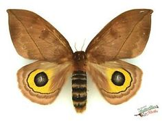 eyed silkmoth automeris zugana moth SET x1 A- FM saturniidae entomology movie | eBay