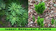Insect-Repellent-Plants
