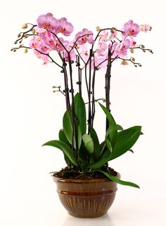 Learn to grow orchids as houseplants... it's easy!
