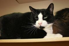 DSH Black and white/Tuxedo male; neutered *DECLAWED*; DOB: 2010This handsome boy was sadly surrendered due to terrible allergies in his family. Captain is a gentle, BIG boy that loves everybody he meets. He's been in a home with dogs, cats and...